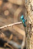 Eine blaue Eidechse, die auf dem getrockneten Baum hockt Stockfotos
