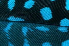 Eine blaue Feder Stockfotografie