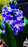 Eine blaue Hyazinthe lizenzfreie stockfotografie