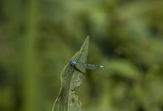 Eine blaue Libelle Stockfotos