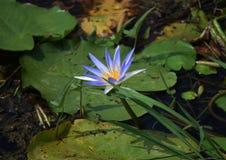 Eine blaue Lilienblume im Fluss, der es wirft, ist Schatten auf seinem Blatt Lizenzfreies Stockbild