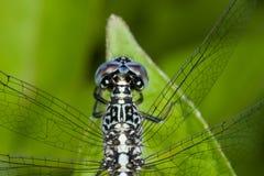 Eine blaue und schwarze Libelle Lizenzfreie Stockfotos
