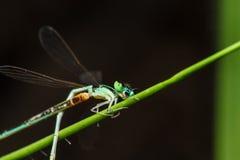 Eine blaue und schwarze Libelle Stockfoto
