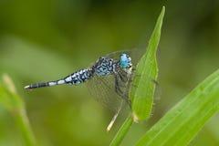 Eine blaue und schwarze Libelle mit Opfer Stockfotos