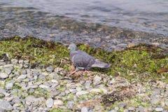 Eine Blautaube tritt auf eine Schindelbank nahe der Küste Lizenzfreies Stockfoto