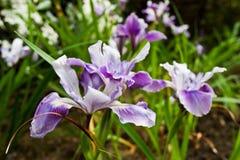 Eine Blendenblume Lizenzfreie Stockfotografie