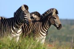 Eine Blendung von Burchell Zebra Lizenzfreie Stockbilder