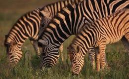 Eine Blendung von Zebra während der goldenen Leuchte Stockbild