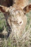 Blonde Milchkuh Lizenzfreies Stockfoto