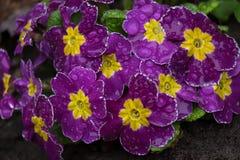 Eine Blume der purpurroten Primel in den Tröpfchen des Regens lizenzfreie stockbilder