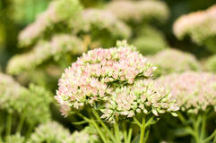 Eine Blume der Schafgarbe Stockfotografie