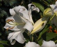 Eine Blume der weißen Lilie und eine Wespe Lizenzfreie Stockbilder