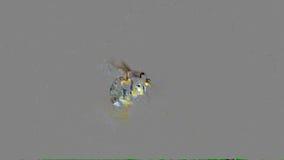 Eine Blume der weißen Mohnblume mit Biene stock video