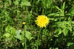 Eine Blume des Löwenzahns in der Wiese Stockfotografie