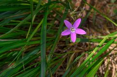 Eine Blume einer ausgebreiteten Glocke im wilden Stockfotos