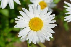 Eine Blume einer Kamille Lizenzfreies Stockfoto