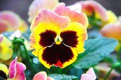 Eine Blume eines Stiefmütterchens mustert ein DreiFARBviolettes Wachsen im Garten Das Foto wurde sofort nach dem Regen gemacht Stockfotografie