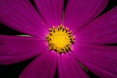 Eine Blume mit den langen purpurroten Blumenblättern und einem gelben Kern Auf einem dunklen Hintergrund Makro Stockfoto