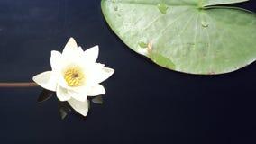 Eine Blume und ein Blatt im Keitele See, Finnland Juli 2012 spielen lizenzfreies stockfoto