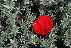Eine Blume unter Dornen Stockbild