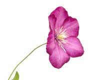 Eine Blume von Garten Clematis (Bower der Jungfrau) Stockbilder