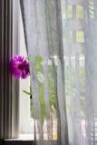 Eine Blume von Kornblumen hinter einem Vorhang auf einem Fensterbrett Stockbild