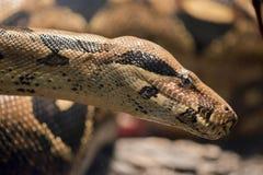 Eine Boa constrictor lizenzfreie stockfotos