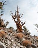 Eine Borstenkegelkiefer in Kalifornien lizenzfreie stockfotografie