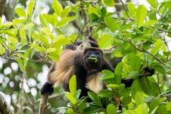 Eine Brüllaffe, die in den Wipfeln eines Waldes sitzt und Blatt isst Stockfoto