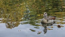 Eine braune Ente Lizenzfreie Stockbilder
