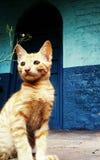 Eine braune Katze mit Streifen und blauem Hintergrund stockfotografie