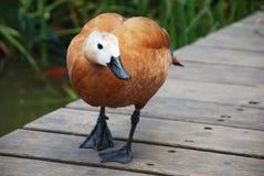 Eine braune nette Ente Lizenzfreie Stockbilder