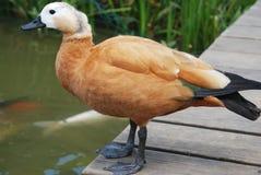 Eine braune nette Ente Lizenzfreies Stockbild