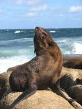 Eine braune Robbe, welche die Sonne auf den Felsen genießt stockbilder