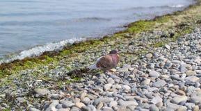 Eine braune Taube sitzt auf einem Pebble Beach nahe der Küste Lizenzfreie Stockfotografie