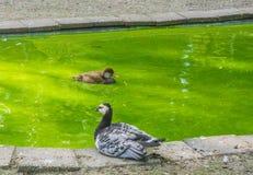 Eine braune und eine schwarze weiße Ente in dem Teich Lizenzfreies Stockfoto