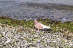 Eine Brauntaube tritt auf eine Schindelbank nahe der Küste Stockbild