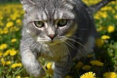 Eine britische Katze geht entlang eine blühende Wiese voll des Löwenzahns lizenzfreie stockfotografie