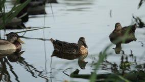 Eine Brut von Enten schwimmt Abschluss in den Dickichten des Teichs Wilde Vögel in ihrem Lebensraum stock video