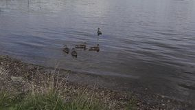 Eine Brut von Enten schwimmt Abschluss in den Dickichten des Teichs Wilde Vögel in ihrem Lebensraum stock video footage