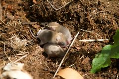 Eine Brut von kleinen neugeborenen Mäusen aus den Grund Lizenzfreies Stockfoto