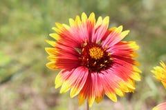 Eine bunte Blume Lizenzfreie Stockfotografie