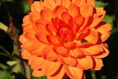Eine bunte Dahlienblume mit einem kleinen Insekt stockfotos
