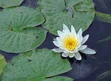 Eine bunte Wasser Lilie Stockbilder