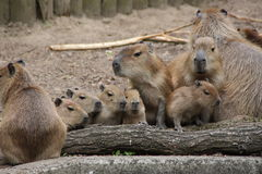 Eine Capybarasfamilie lizenzfreie stockfotos
