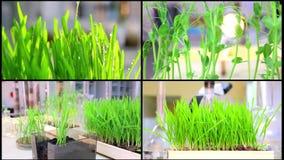 Eine Collage, die genetischen Betriebsprüfvorrichtungsjob wächst Forschung und Bearbeitung im Labor von Weizenvielzahl stock video