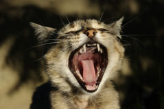 Eine Damekatze gähnt. Lizenzfreies Stockbild