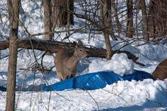 Eine Damhirschkuh des weißen Schwanzes im Schnee Lizenzfreies Stockbild