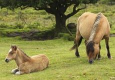 Eine Dartmoor Pony-Stute und ein Fohlen, Devon, England Lizenzfreie Stockbilder