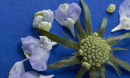 Eine dekonstruierte Scabiosa-Nadelkissenblume Stockfotografie